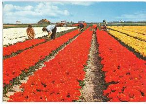 Holland, Netherlands, Holland in flower decoration, 1977 PU