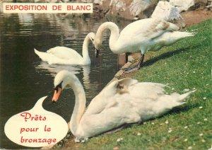 carte postale cygnes sur rive du lac