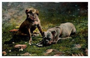 12633  Tuck's no.  4453  English Bull Dogs