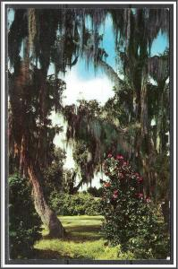 Mississippi Live Oaks & Camellias