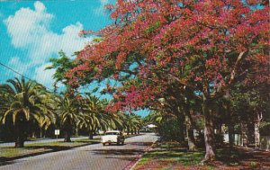 Brilliant Royal Poinciana Trees Add Color To Floridas Residential Avenue Miam...