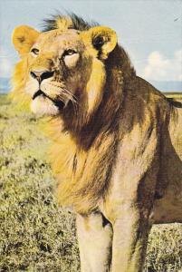 Lion , KENYA , PU-1970