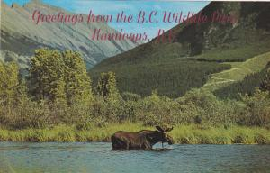 Bull Moose, Canadian Rockies, Greetings from the British Columbia Wildlife Pa...