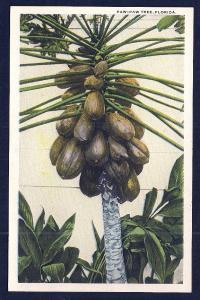 Paw Paw Tree w/Full Load Florida unused c1920's