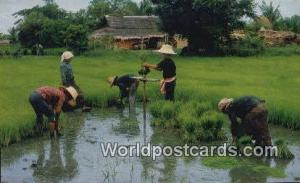Thailand Cultivation of the Rice  Cultivation of the Rice