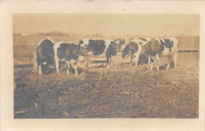 Ohio~Holstein Dairy Cows Grazing @ Cattle Pen~Spahr's Studio Wilmington '10 RPPC