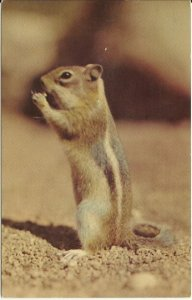 Old Postcard, Ground Squirrel Eating in the Park, Chipmunk, Collectible Ephemera