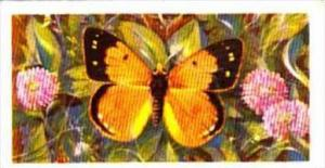 Brooke Bond Tea British Butterflies No 44 Clouded Yellow