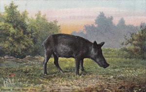 Pigs Florida Razor Back Hog