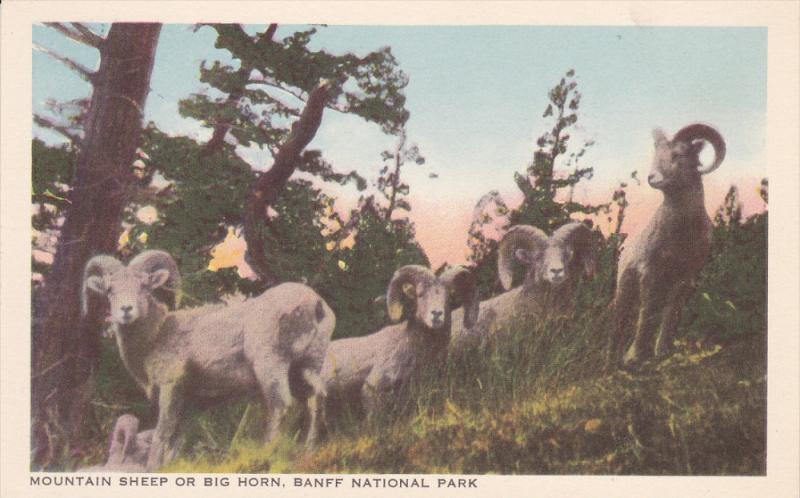 Mountain Sheep / Big Horn , BANFF National Park , Alberta , Canada 20-40s [By...
