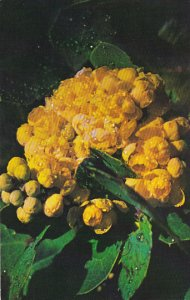 Low Oregon Grape Pacific Coast Wildflower