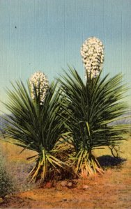 Cactus Yucca In Bloom Spanish Bayonet Curteich