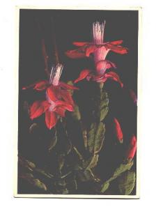 Close Up, Flowering Christmas Cactus,
