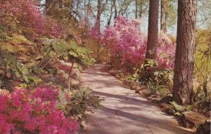 Alabama Mobile Bellingrath Gardens Flagstone Walk With Large Indica Azaleas I...