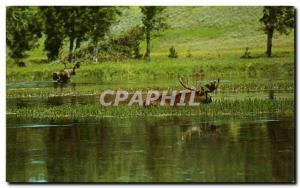 Postcard Modern Fairview Canada Alberta Bull moose