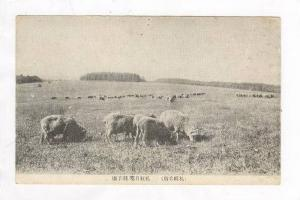 Herd of sheep, Japan, 1910s