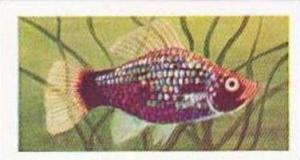Mitchum Foods Vintage Trade Card Aquarium Fish 1957 2nd Series No 46 Black Sp...