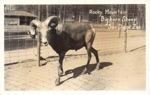 LP18  San Diego Zoo California Postcard RPPC Rocky Mountain BigHorn Sheep