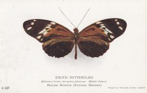 Exotic Butterflies Guiana Butterfly British Natural History Museum Old Postcard