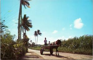 postcard Horse and Cart in Sugar Cane fields in St. Croix, US Virgin Islands