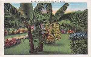 Beautiful Banana Tree Bearing Fruit In Florida