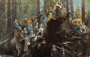 Fallen Monarch, Mariposa Grove YOSEMITE, CA Sequoia Tree 1913 Vintage Postcard