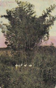 PANAMA, C.Z., 1900-1910s; Under The Bamboo Tree