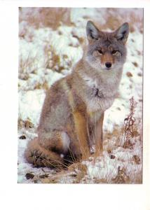 Coyote, North American Wildlife, Photo Esther Schmidt, Gananoque, Ontario