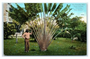 Postcard The Travelers Palm, Hope Gardens Greetings from Jamaica T8