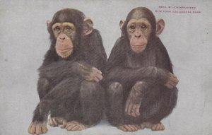 NEW YORK CITY, New York, 00-10s; Chimpanzees, New York Zoological Park