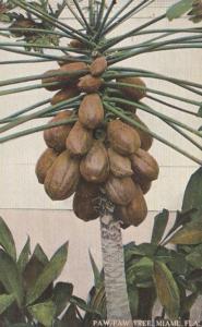 Florida Miami Paw Paw Tree With Fruit 1910 Curteich