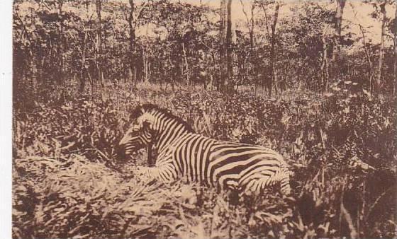 Belgian Congo Un zebre et aspect de la savane boisee
