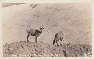RP; Canadian Rockies' Mountain Sheep, Canada, 1930-40s