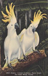 Florida Miami Parrot Jungle Sulphur Crested Cockatoos 1955 Curteich