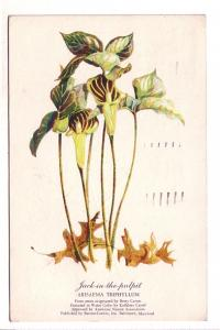 Botanical Jack-in-the-pulpit Flower, Betty Carnes, Kathleen Cassel, American ...