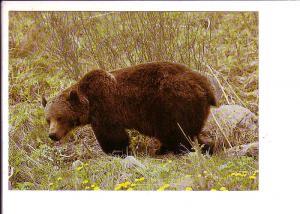 Grizzly Bear, Alberta, Canada