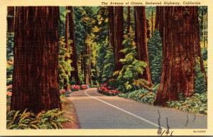California Redwood Highway The Avenue Of Giants Curteich