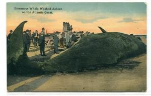 Whale Washed Ashore on Atlantic Coast Interested Crowd 1910c postcard