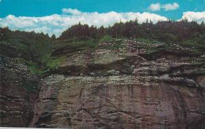 Gannets (birds) Nesting , Bonadventure island , Quebec , Canada , 50-60s