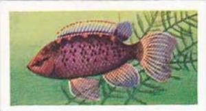 Mitchum Foods Vintage Trade Card Aquarium Fish 1957 2nd Series No 42 Badis Badis