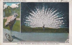 Ohio Cincinnati White Peacock & Secretary Bird Feeding On Snake Cincinnati Zo...