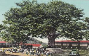 PALIN , Gutemala , 30-40s ; 400 Year Old Ceiba Tree