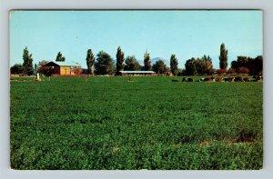 Antelope Valley, CA-California, Farm Land, Field, Cows, Chrome Postcard