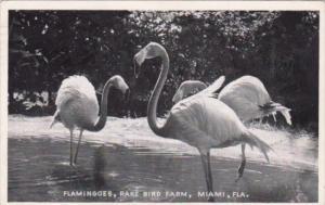 Florida Miami Flamingoes At The Rare Bird Farm 1953 Real Photo