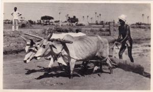 RP: Ox Team Ploughing , MADRAS , India , 20s