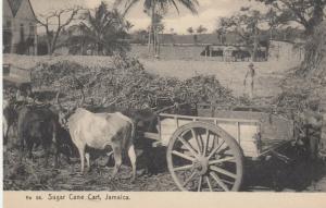JAMAICA , 1900-10s ; Sugar Cane Cart