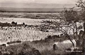 Ethiopia Africa Ethiopian fauna flamingos birds Meta Hara Lake photo postcard