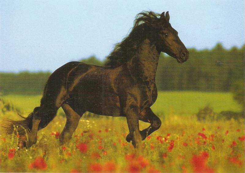 Noble Horse.Galloping Nice German postcard 1970s. Continentl size