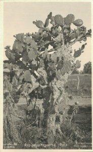 Argentina Tuna Cactus Tree RPPC 06.92