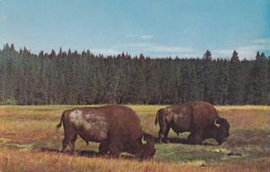 Buffalo - Bison Bulls - Yellowstone National Park WY Wyoming